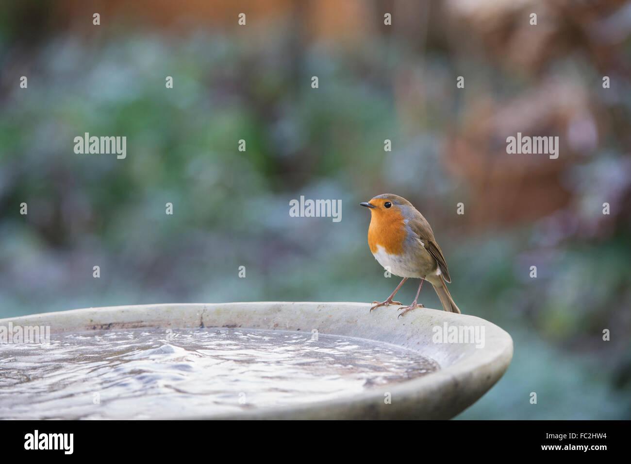 Vasca Da Bagno In Inglese : Erithacus rubecula. robin su un uccello congelato vasca da bagno in