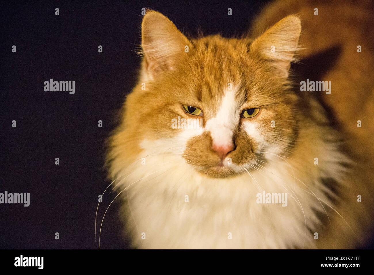 Arancione e bianco gatto Fluffy Immagini Stock