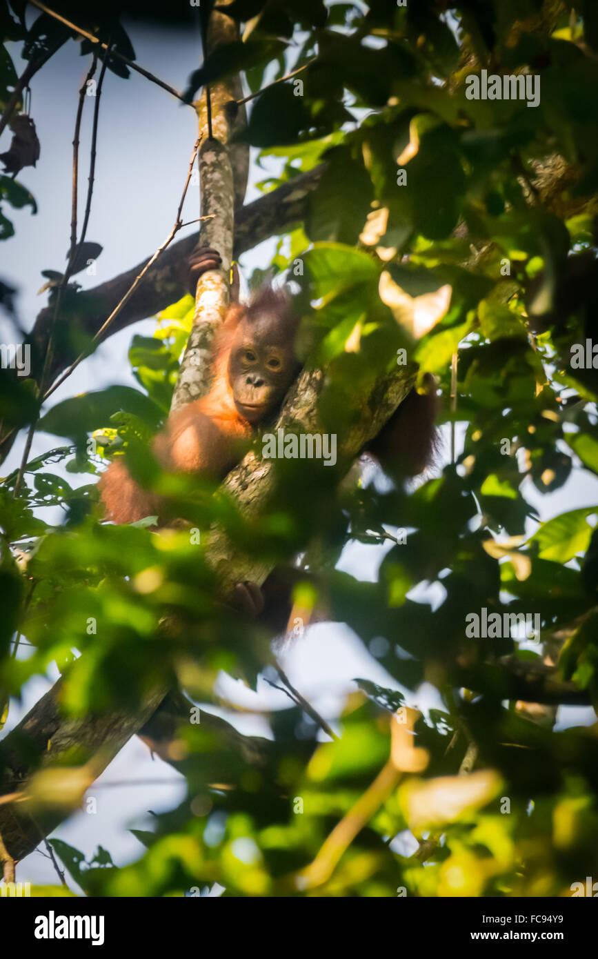 Ritratto di un bambino selvaggio bornean orangutan (Pongo pygmaeus morio) nel selvaggio. © Rinaldo Sumayku Immagini Stock