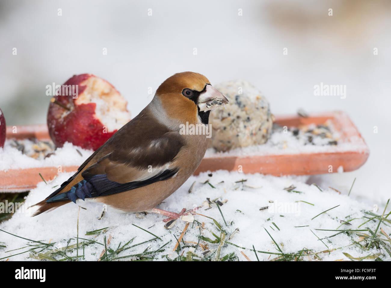 Hawfinch, bird's alimentazione, Kernbeißer, Kernbeisser, Kirschkernbeißer, Vogelfutter, Vogelfütterung, Immagini Stock