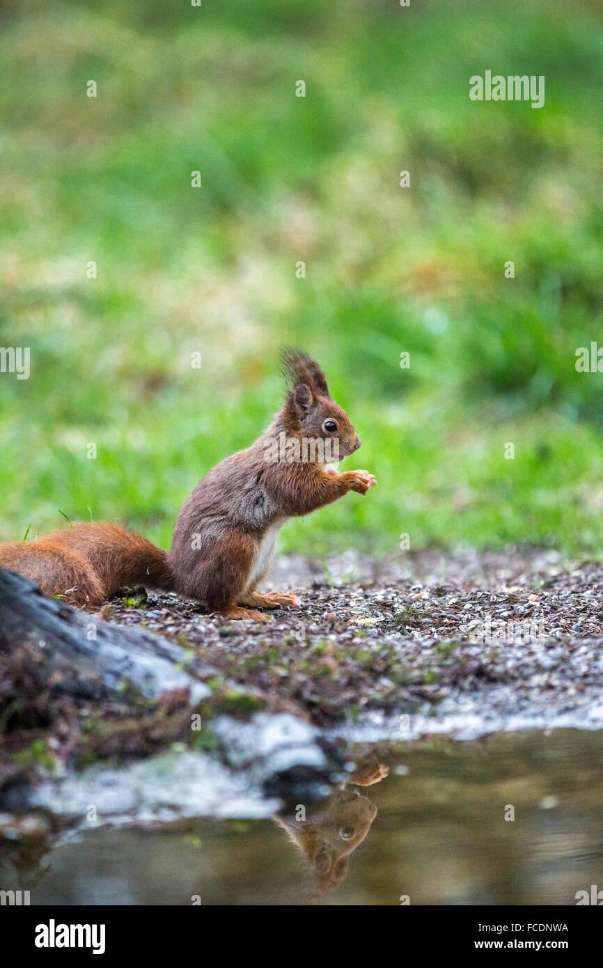 Paesi Bassi, 's-Graveland, 's-Gravelandse Buitenplaatsen, Rurale Hilverbeek station wagon. Eurasian scoiattolo rosso ( Sciurus vulgaris) Foto Stock