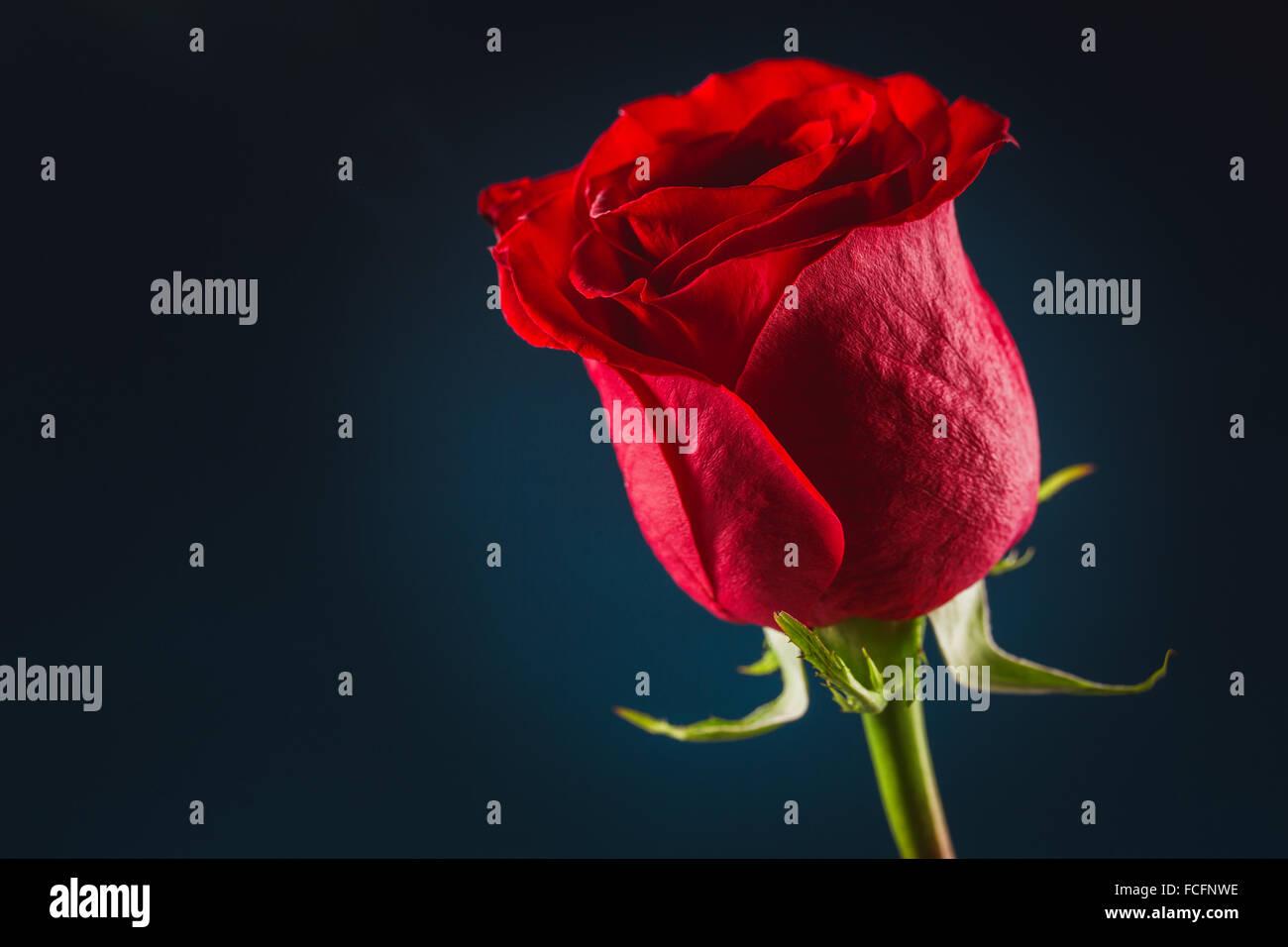 Bella Rosa Rossa Su Sfondo Nero Foto Immagine Stock 93774170 Alamy