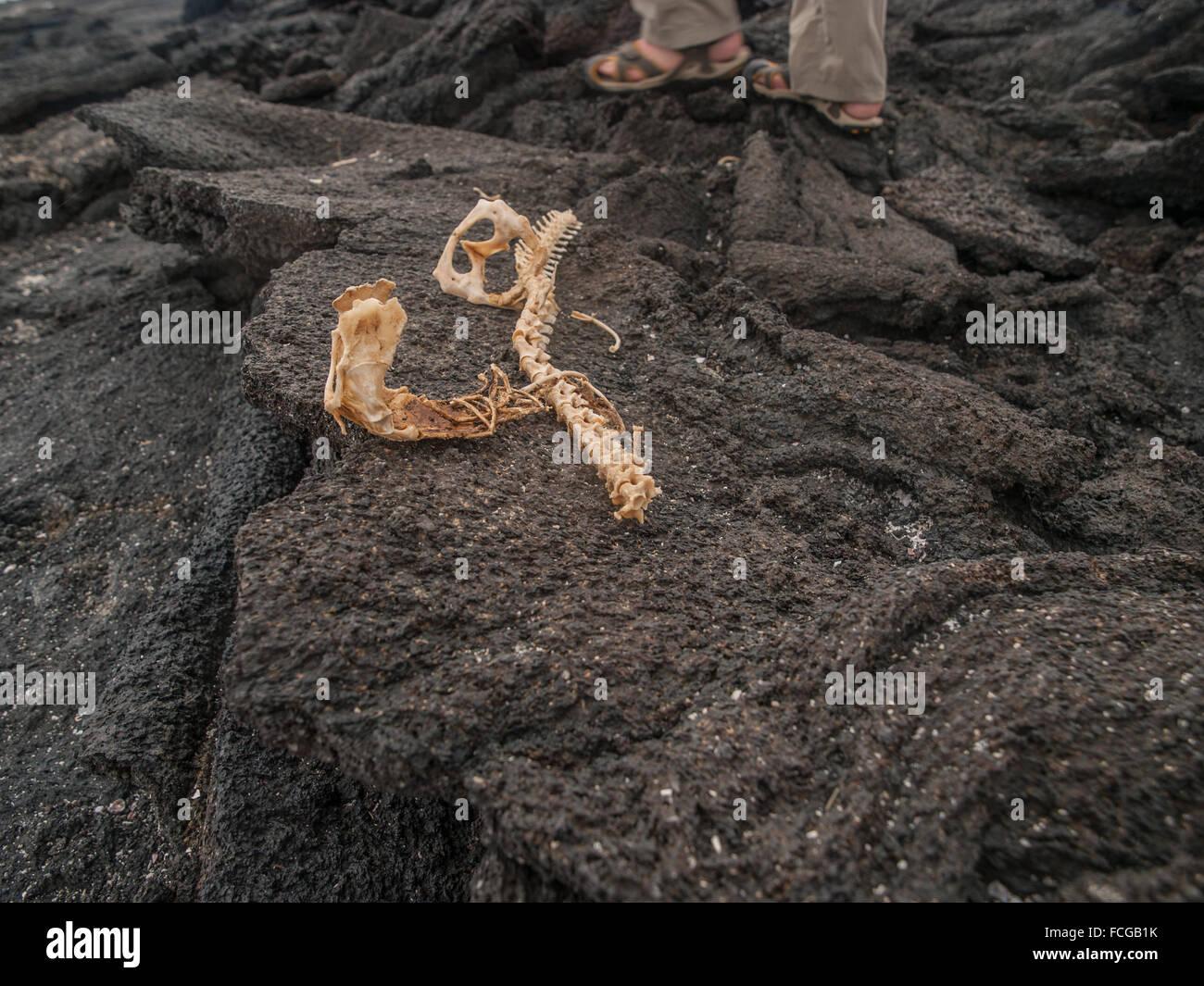Scheletro Sul Nero Nelle Lo Di Isole Roccia Lavica Iguana KFJcTl1