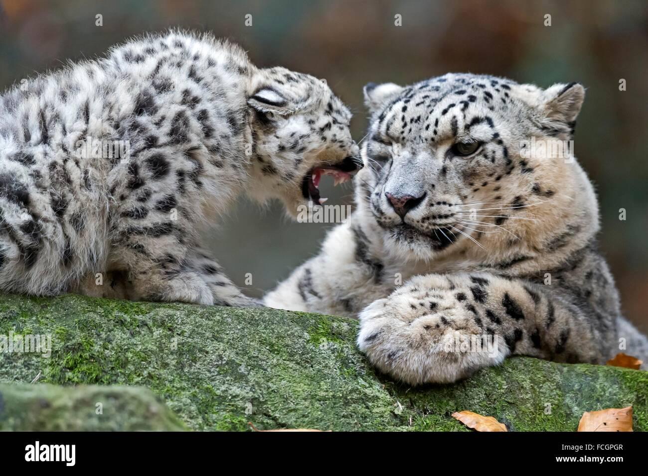 Snow Leopard (Uncia uncia), animali giovani, captive, Germania Foto Stock