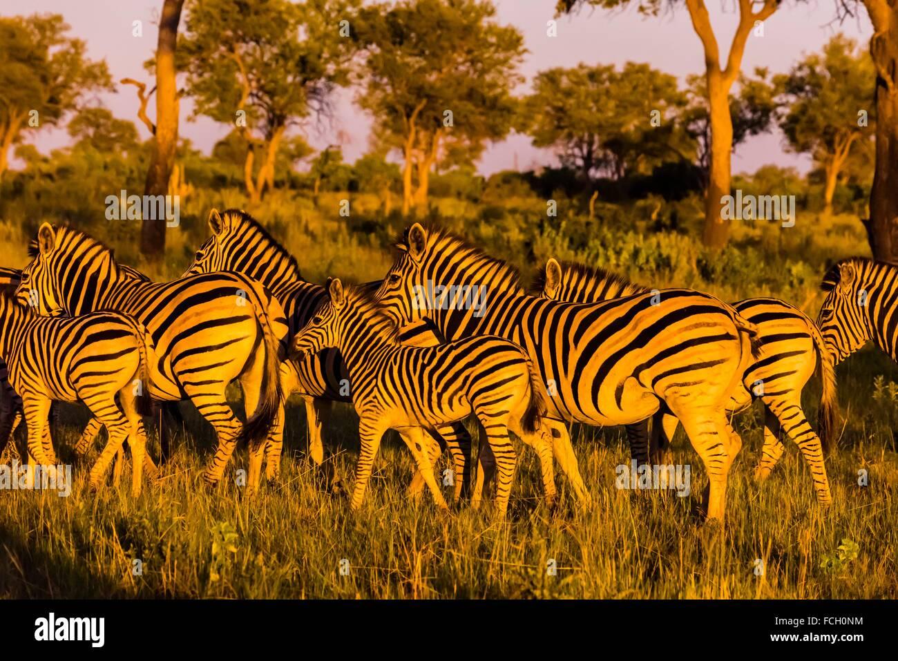 Una mandria di zebre raccogliere insieme come approccio Lions, concessione Kwando, Linyanti paludi, il Botswana. Immagini Stock