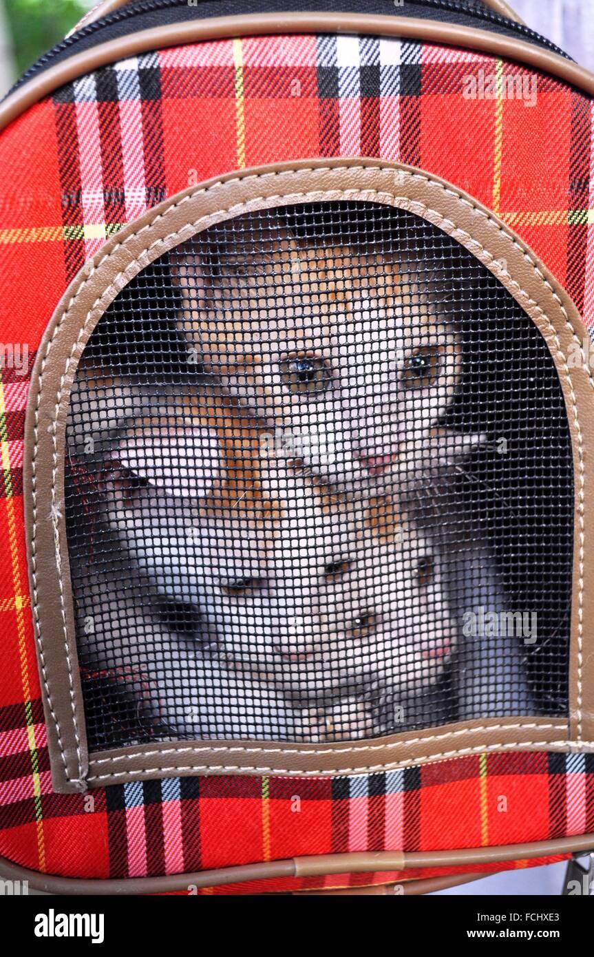 Naha, Okinawa, in Giappone: i gatti randagi disponibile per adozione Immagini Stock