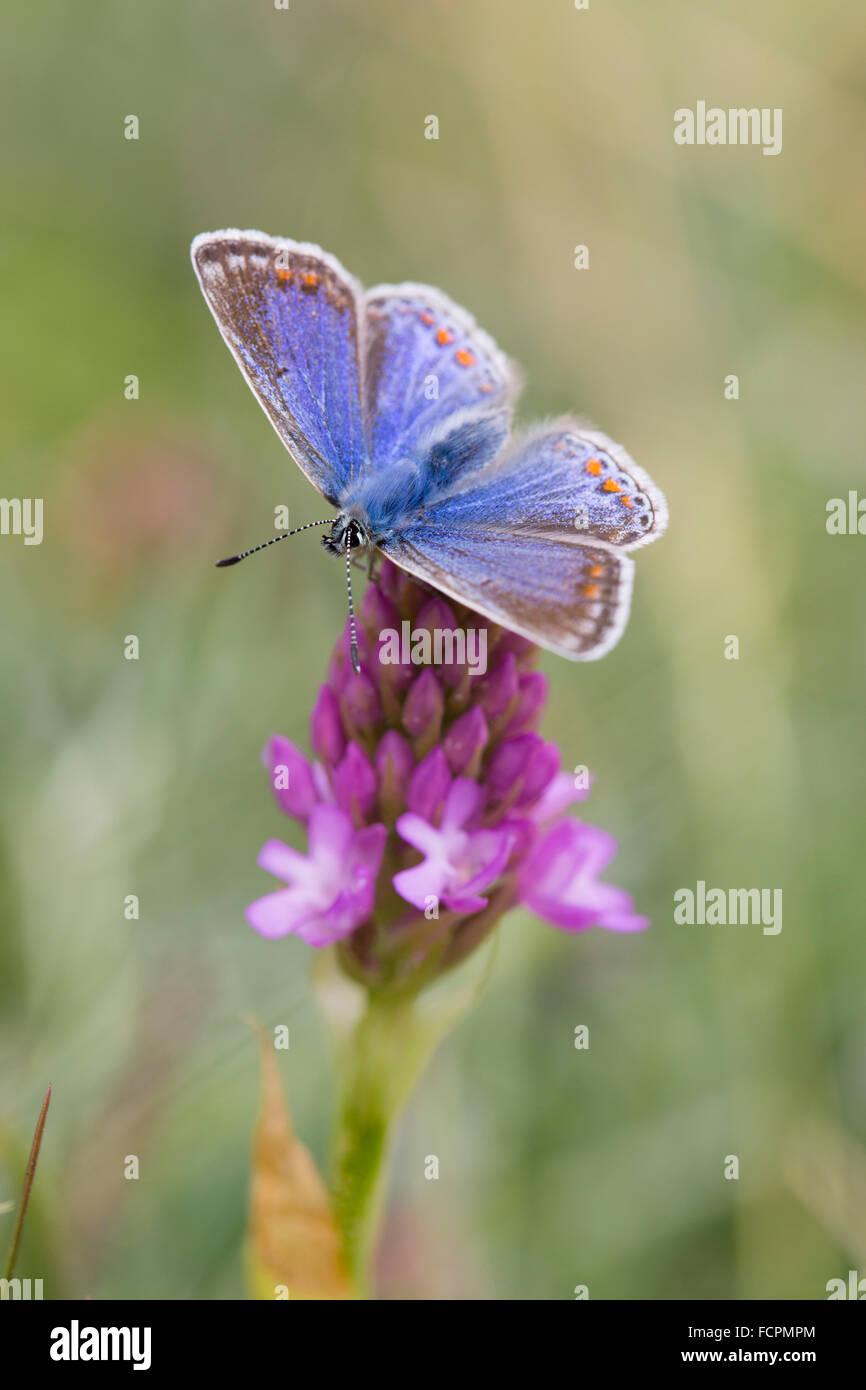 Comune di Blue Butterfly; Polyommatus icarus femmina singolo su Orchide Anglesey, Regno Unito Immagini Stock