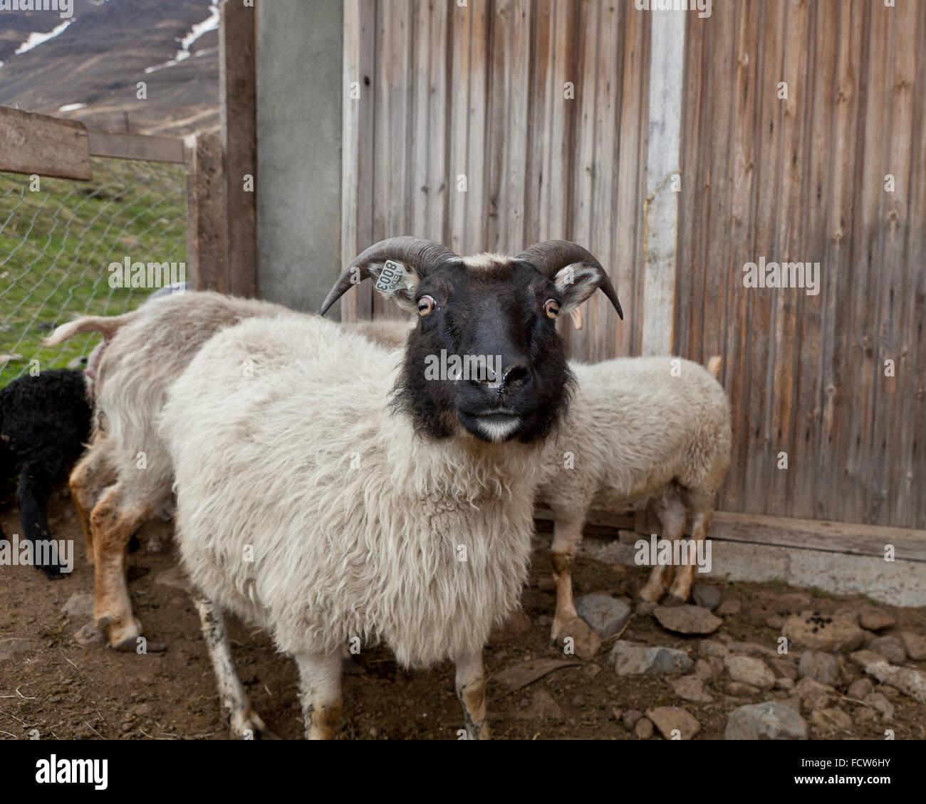 In bianco e nero di ovini, Audbrekka farm, Horgardalur valley, Islanda Immagini Stock