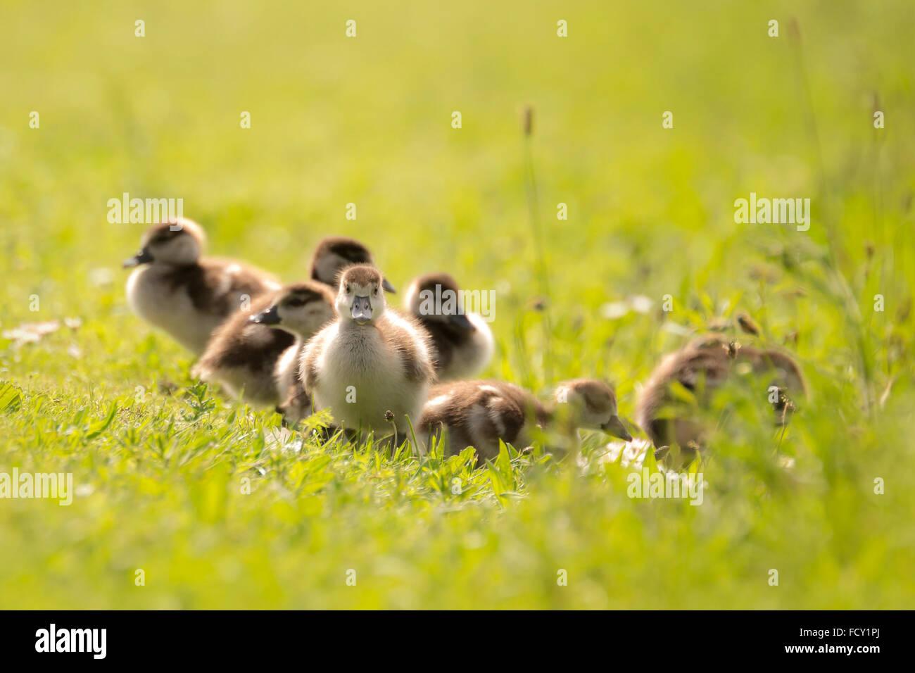 Gruppo di oca egiziana (Alopochen aegyptiacus) pulcini di esplorare il mondo e camminare in un prato con fiori di Immagini Stock