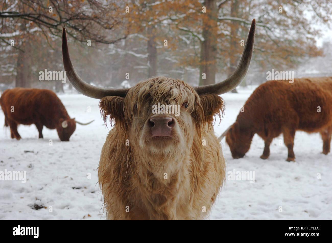 Highland mucca in Scozia Immagini Stock