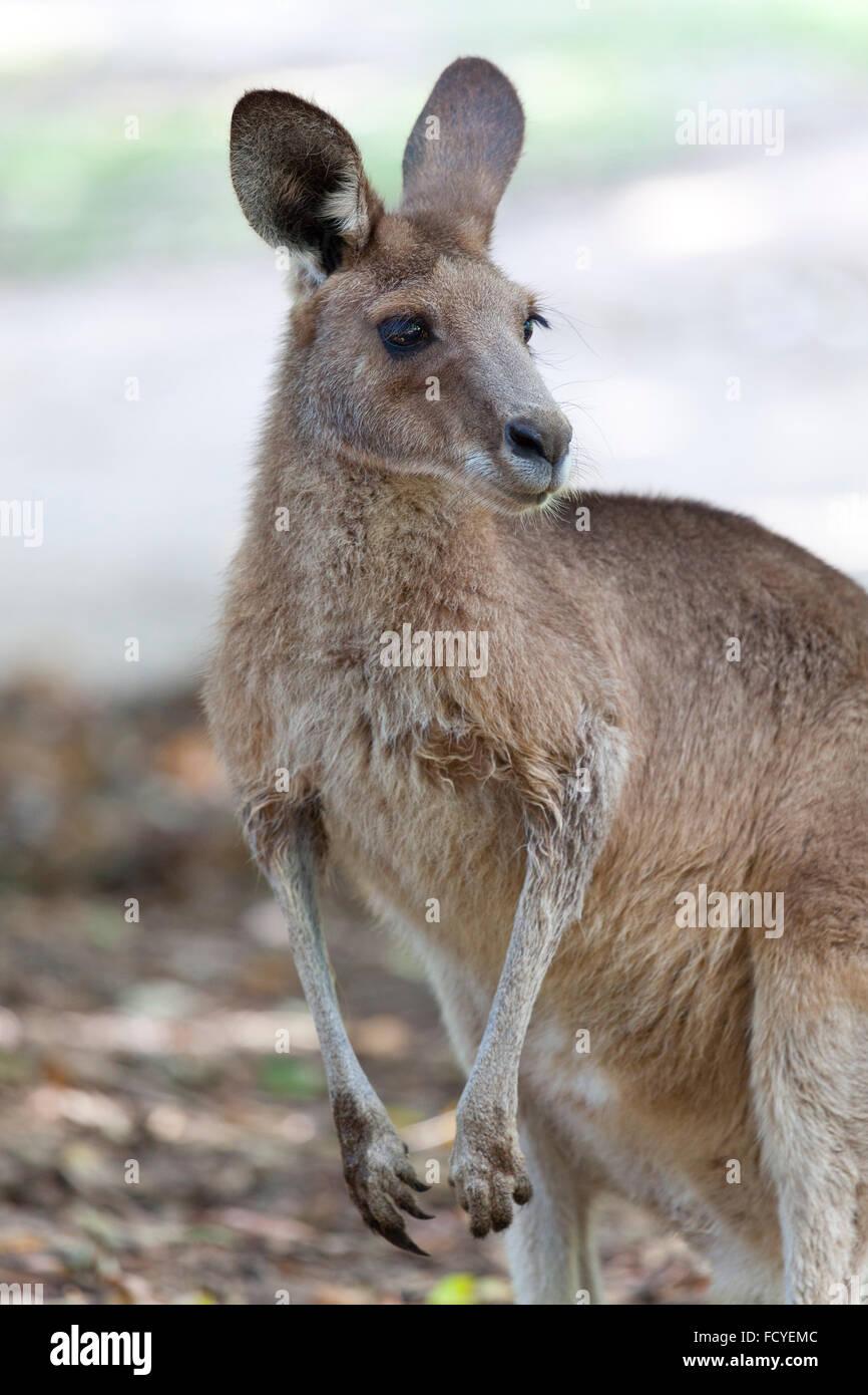 Ritratto di un canguro rosso nel Queensland, Australia Immagini Stock