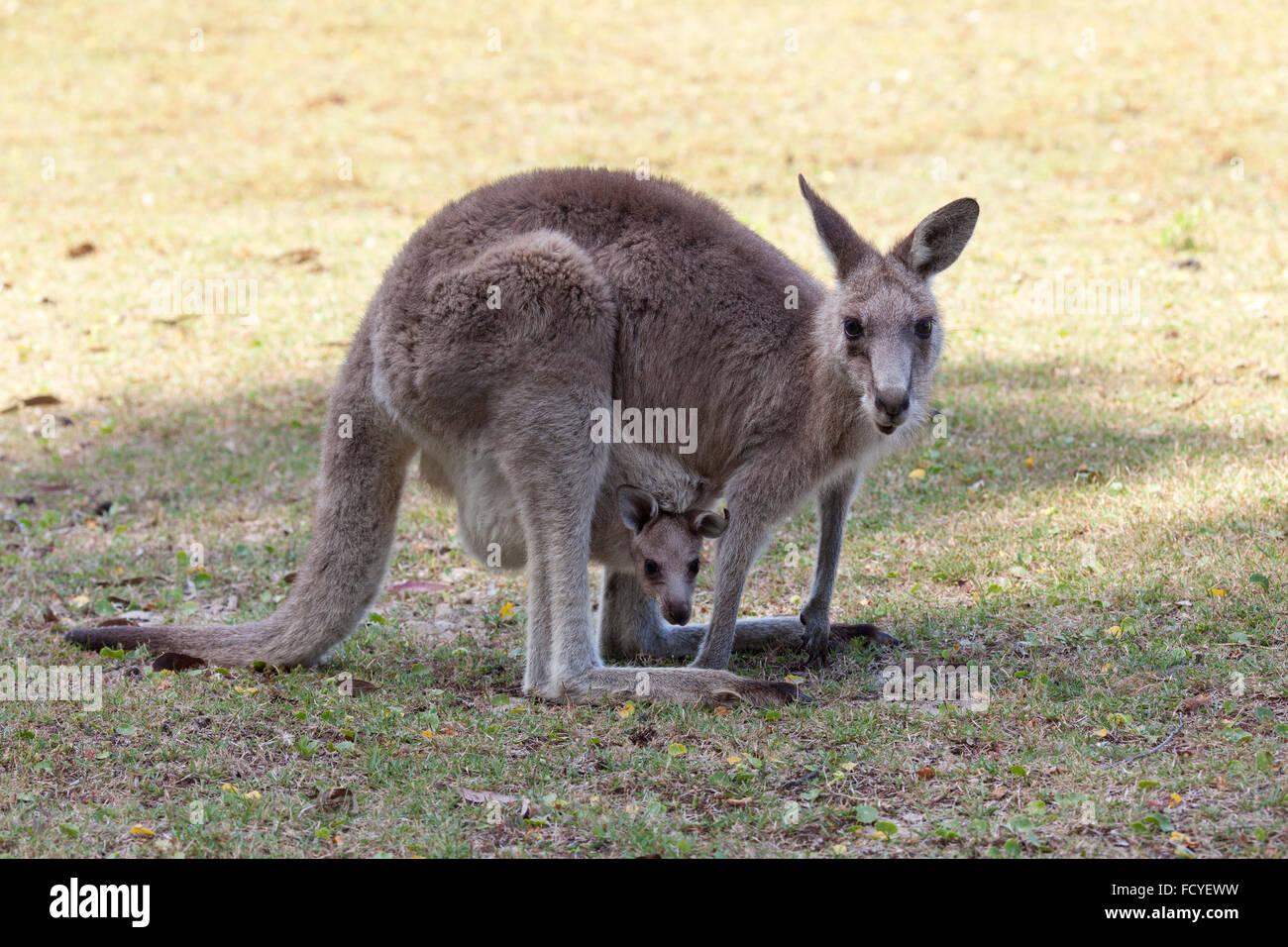 Canguro rosso madre e joey in Australia nel NSW, Australia Immagini Stock