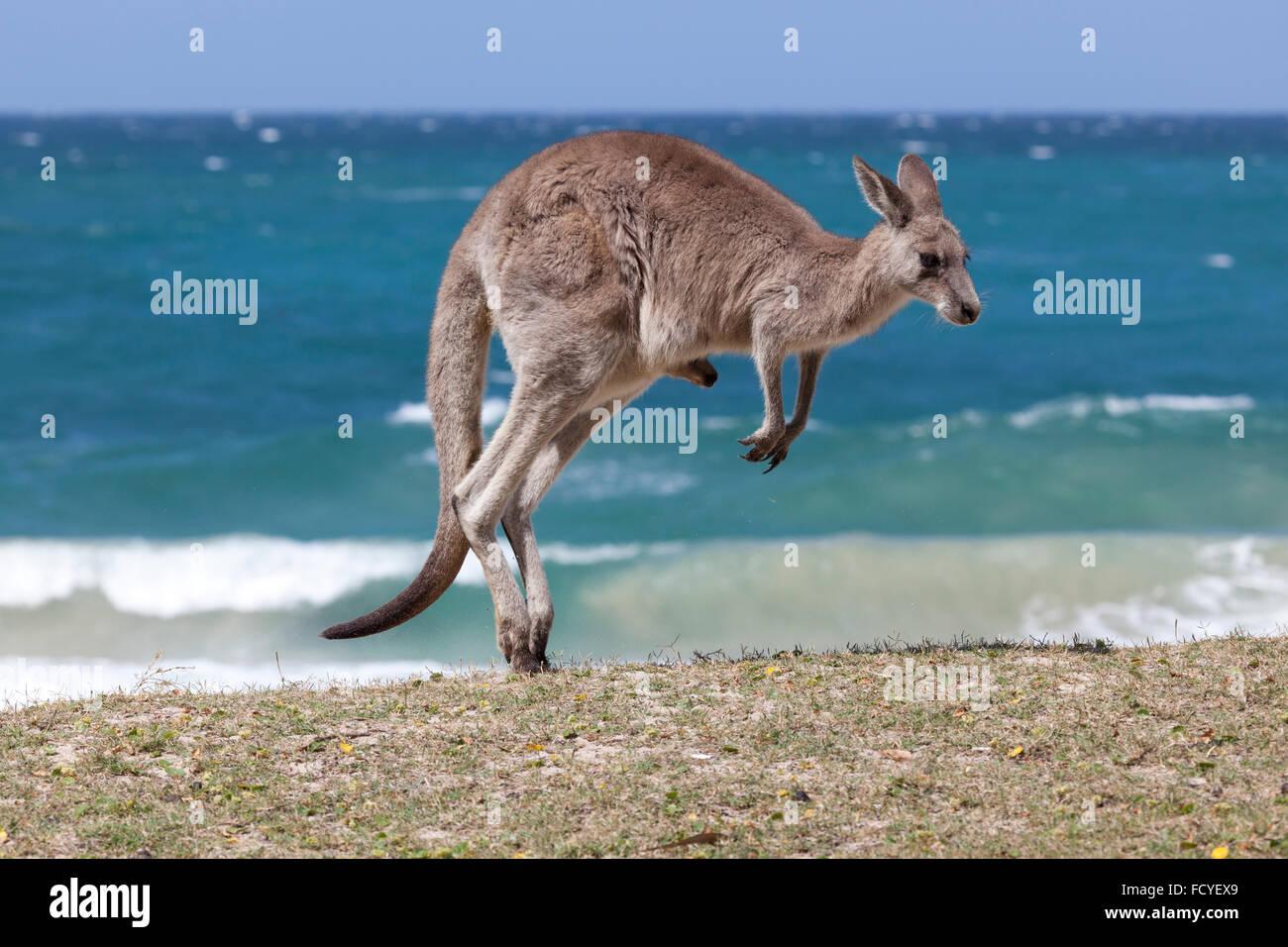 Jumping canguro rosso sulla spiaggia, deposito di spiaggia, Nuovo Galles del Sud, Australia Immagini Stock