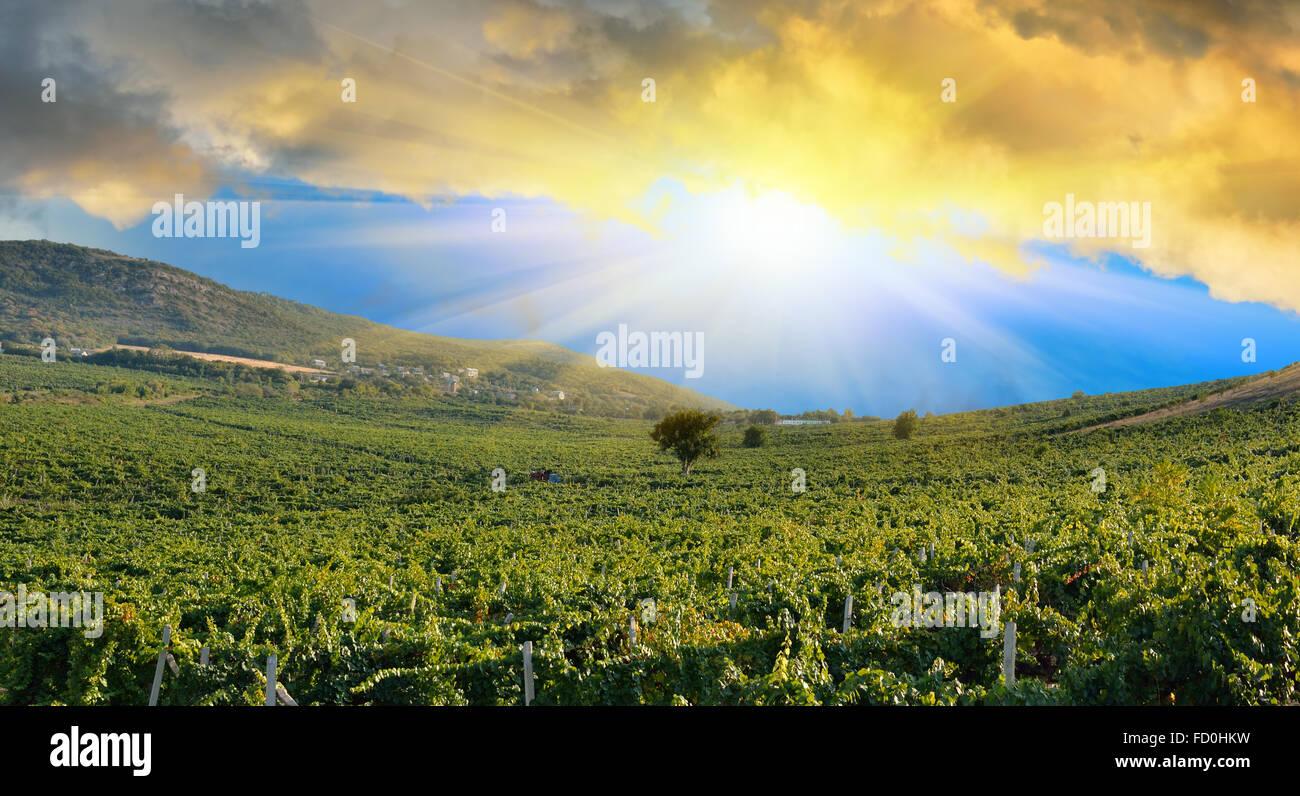 Sunrise in montagna su un campo di uva. Vigneti nelle montagne della Crimea Foto Stock