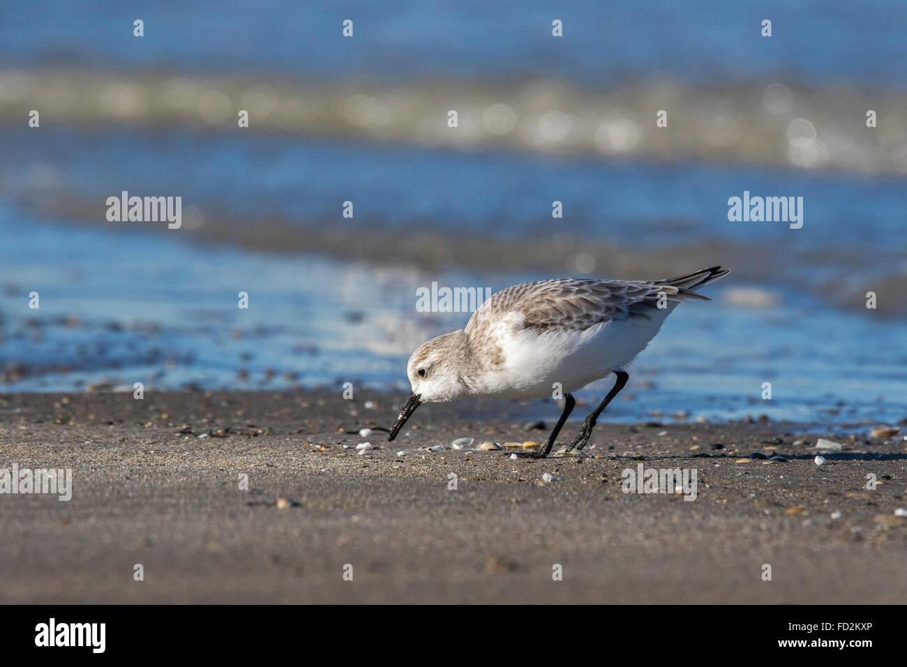 Sanderling (Calidris alba) in non-allevamento piumaggio rovistando in corrispondenza del bordo del surf lungo la Immagini Stock