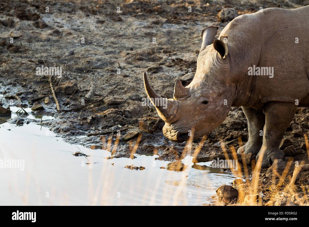 Un rinoceronte bianco circa per avere un drink Immagini Stock