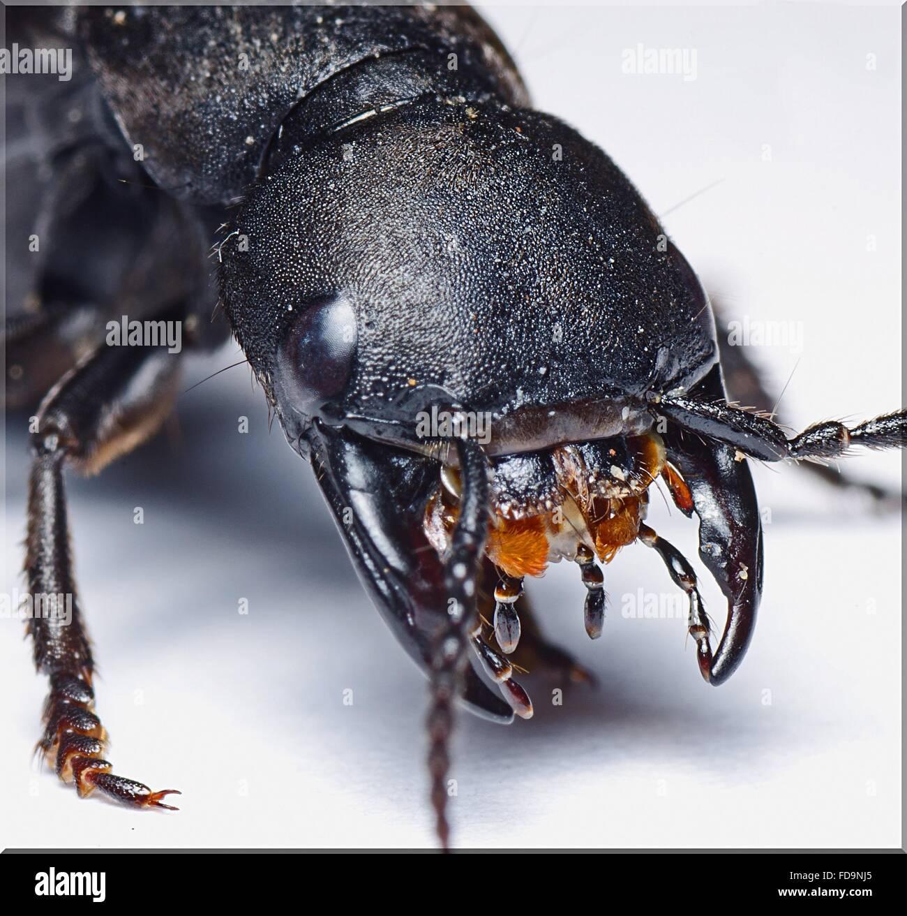 Angolo di Alta Vista di insetto nero su bianco nella tabella Foto Stock