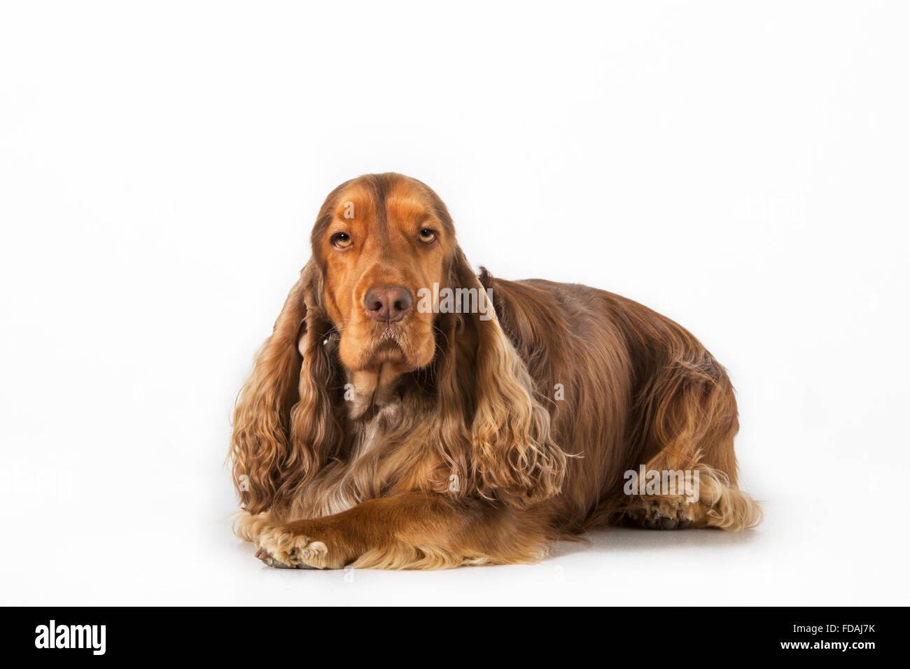 English Cocker Spaniel cane (Canis lupus familiaris) ritratto contro uno sfondo bianco Immagini Stock