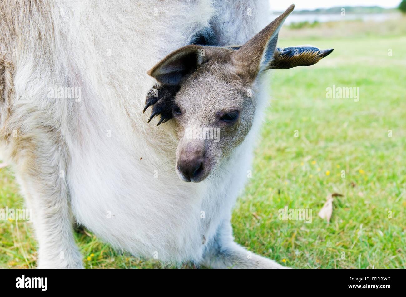 Forester canguro e joey in Tasmania, Australia Immagini Stock