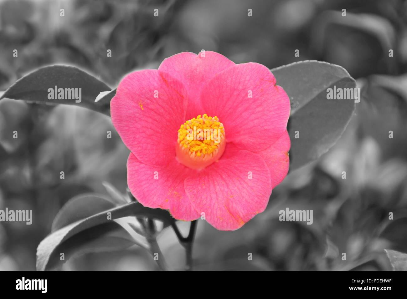 Di un bel colore rosa camelia fiore in giardino Immagini Stock
