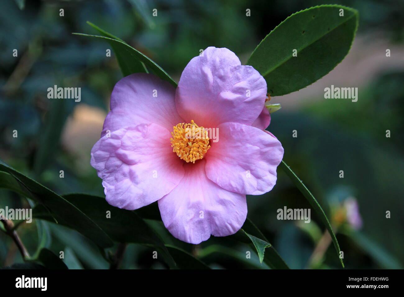 Bella viola camelia fiore in giardino Immagini Stock