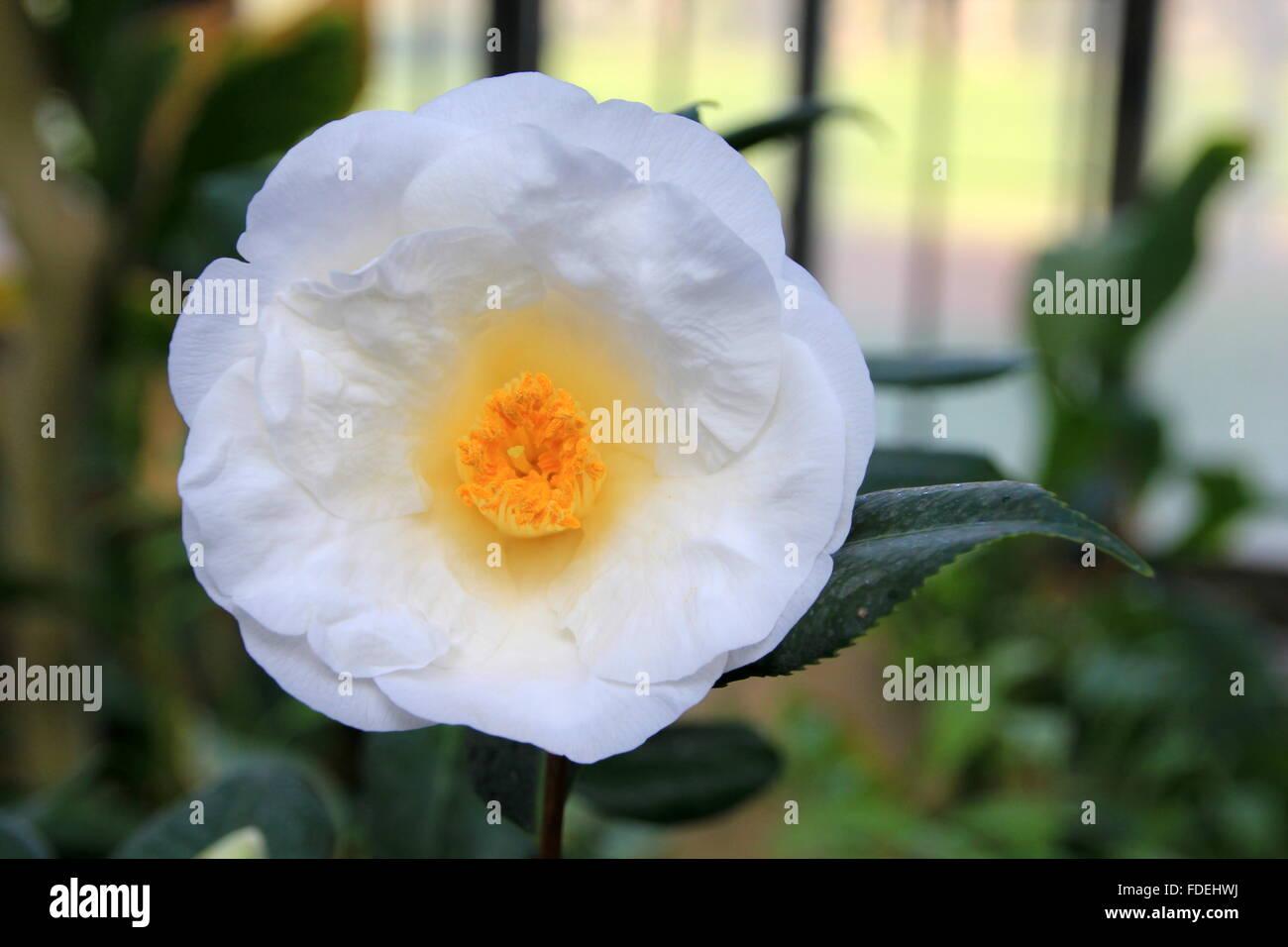 Bella bianca camelia fiore in giardino Immagini Stock