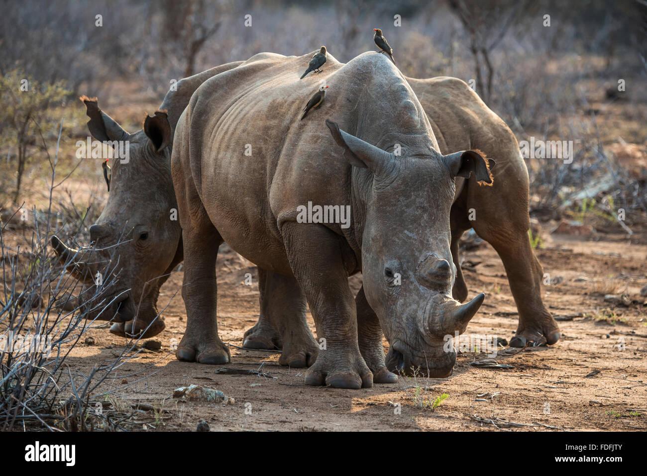 White Rhino (Ceratotherium simum) con il rosso-fatturati hacker (Buphagus erythrorhynchus) sul retro, Madikwe Game Immagini Stock