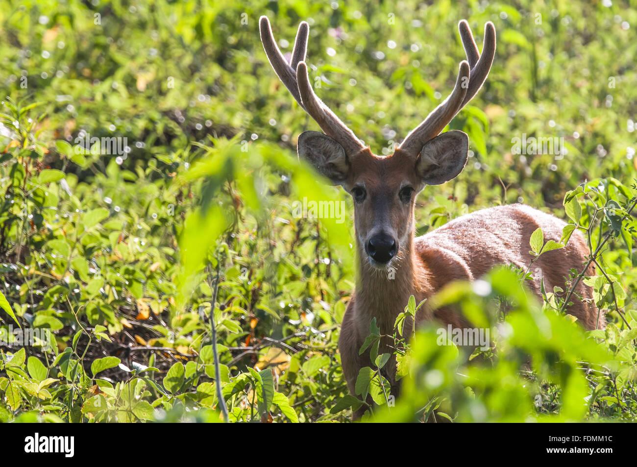 La palude cervi in Alto Pantanal - noto anche come cervi, Guacu-Pucu e suacuapara Immagini Stock