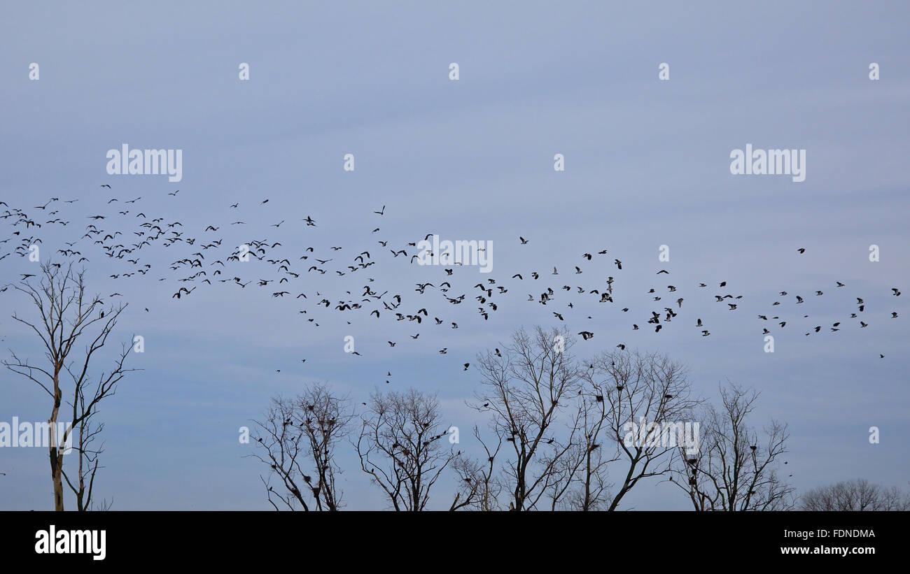 Stormo Di Rondini Hirundo Rustica In Volo Sopra La Formazione Tree
