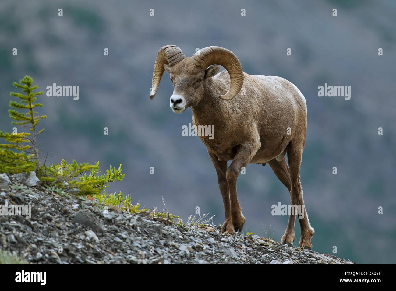 Bighorn (Ovis canadensis) ram, il Parco Nazionale di Jasper, Alberta, Canada Immagini Stock
