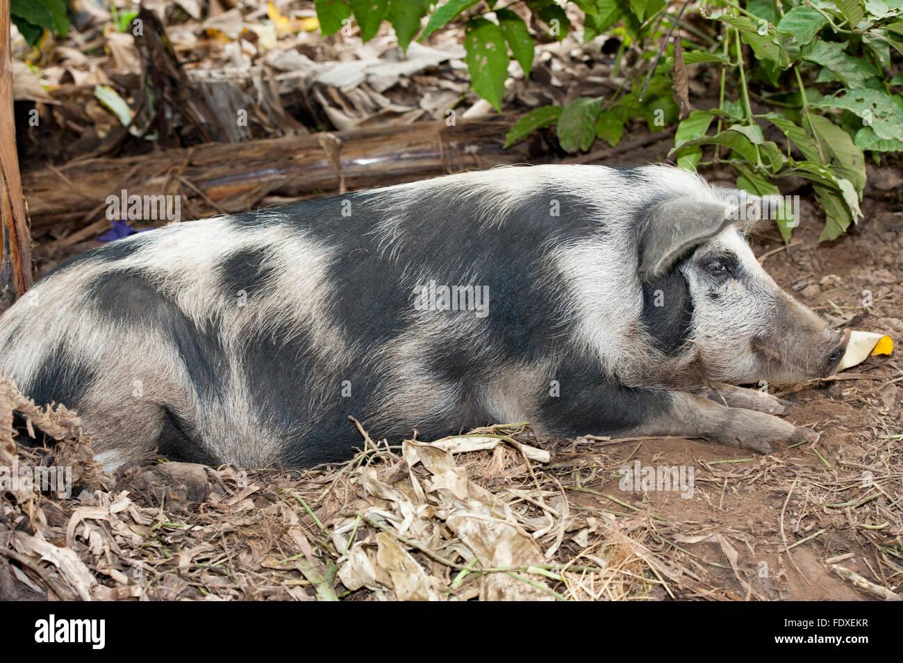 Macchiato il maiale a penna sulla fattoria in Uganda. Immagini Stock