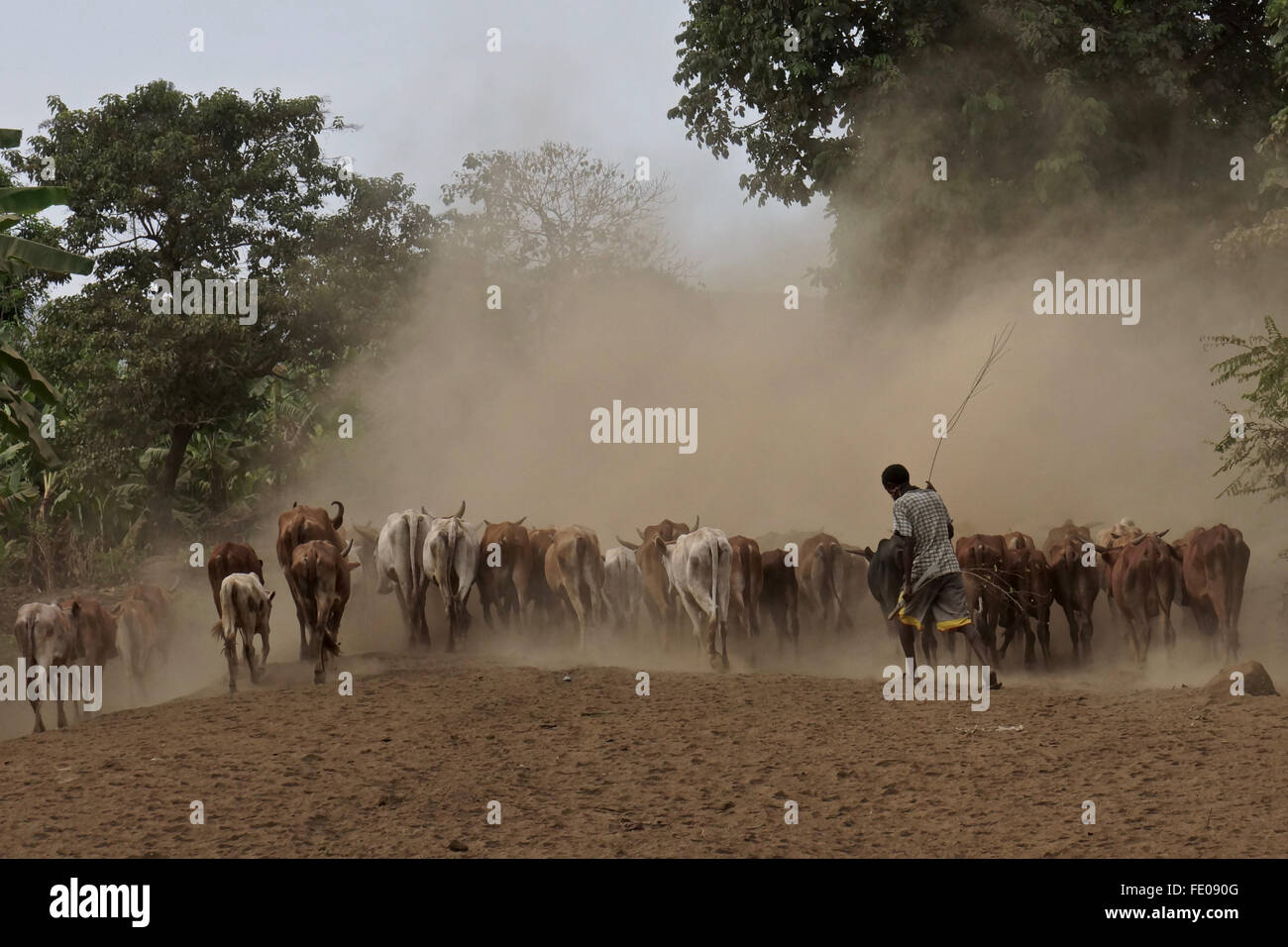 Un allevamento bovino herder sposta il suo bestiame in polvere Immagini Stock