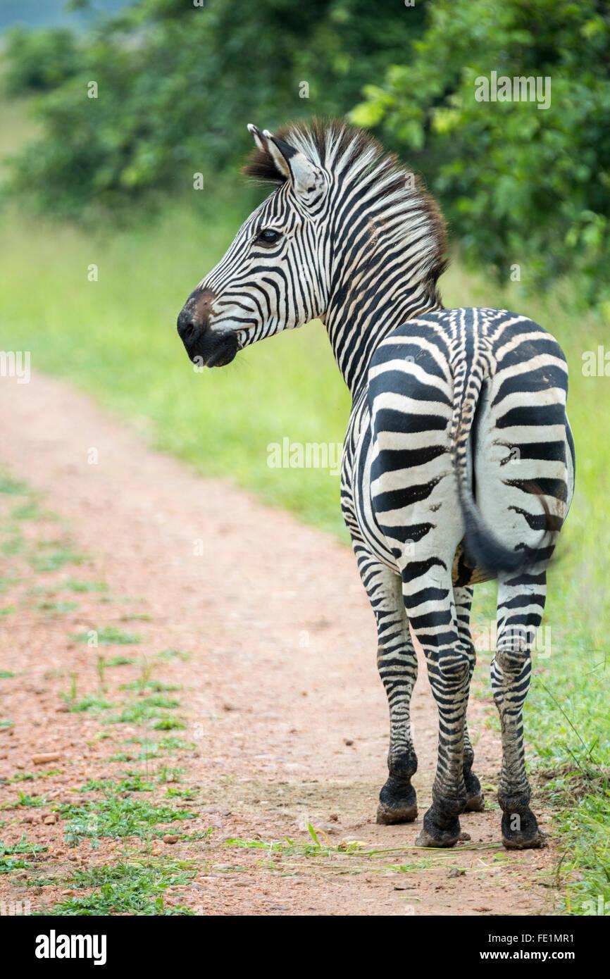 Le pianure Zebra, South Luangwa National Park, Zambia, Africa Immagini Stock
