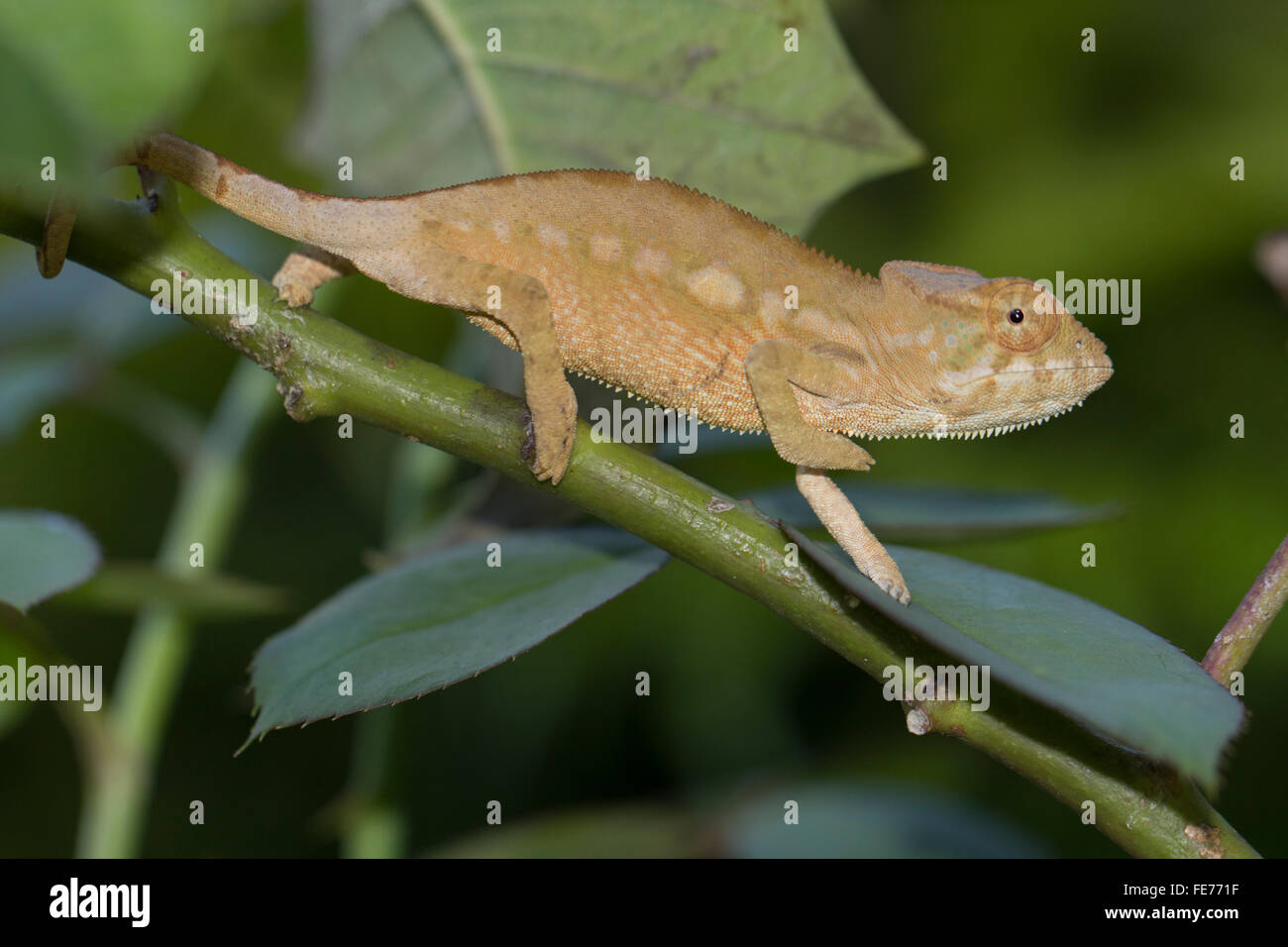 Panther chameleon (Furcifer pardalis), la prole, Sambava, a nord-est del Madagascar, Madagascar Immagini Stock