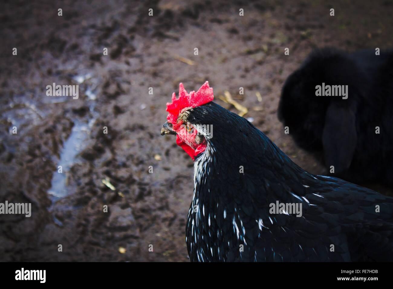 Close-Up vista laterale di un gallo Immagini Stock