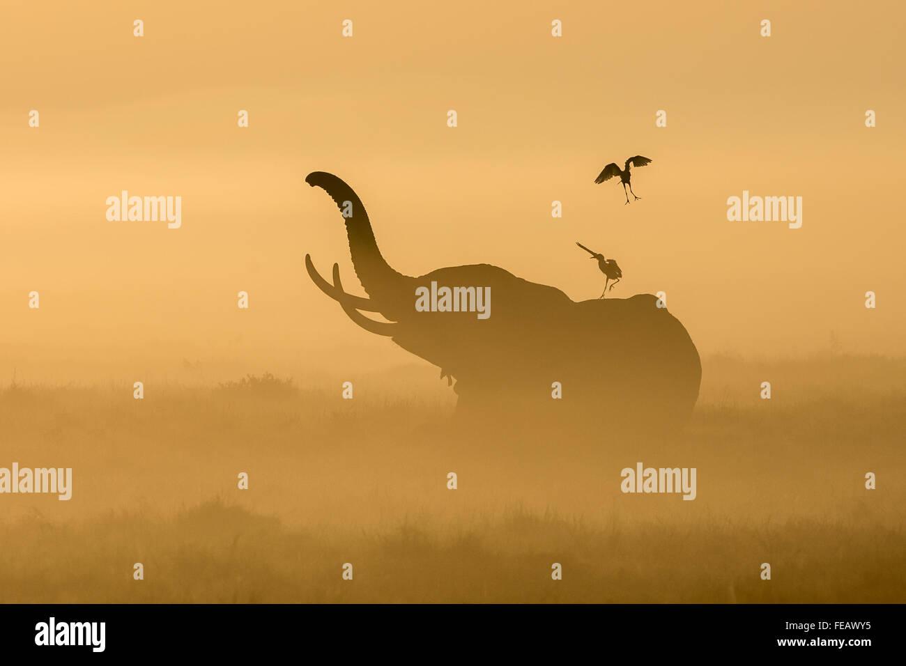 Elefante africano nella nebbia con guardabuoi sulla sua schiena in mattina presto in Amboseli National Park in Kenya Foto Stock