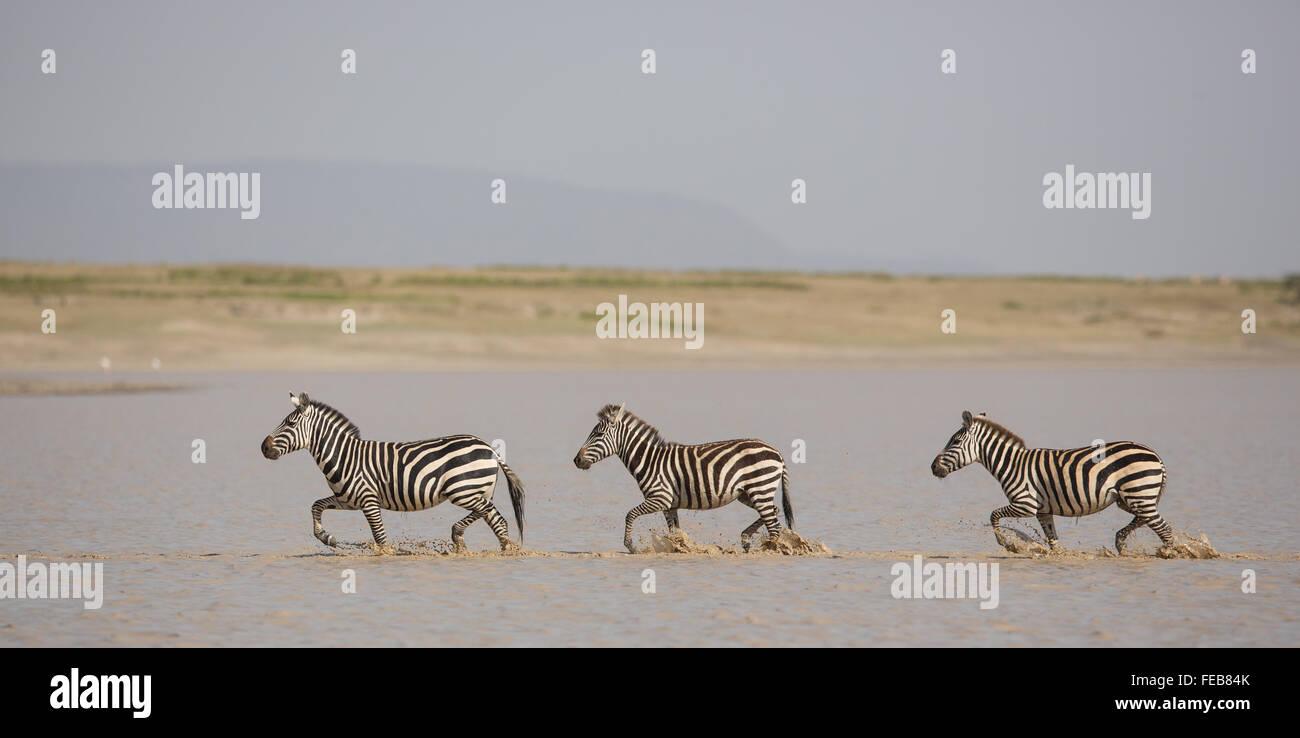 Tre pianure adulti zebra in esecuzione sul fiume nel Parco Nazionale del Serengeti Tanzania Immagini Stock