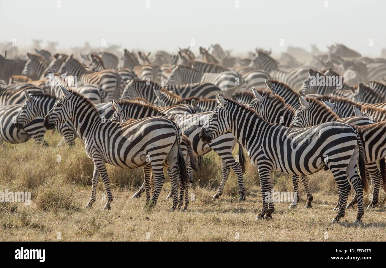 Zebra delle pianure del Serengeti National Park in Tanzania Immagini Stock