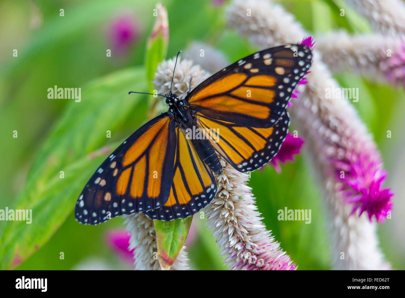 Primo piano della farfalla monarca Danaus plexippus su un fiore al Butterfly Estates in Fort Myers Florida Immagini Stock