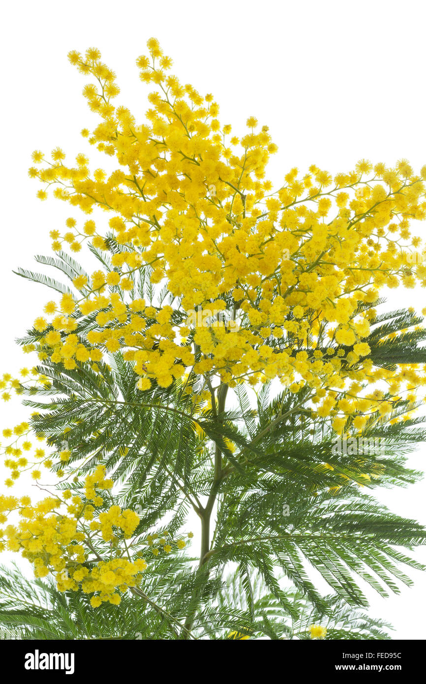 Rametto di fresca fioritura giallo mimosa su sfondo bianco Immagini Stock a44065e62f78