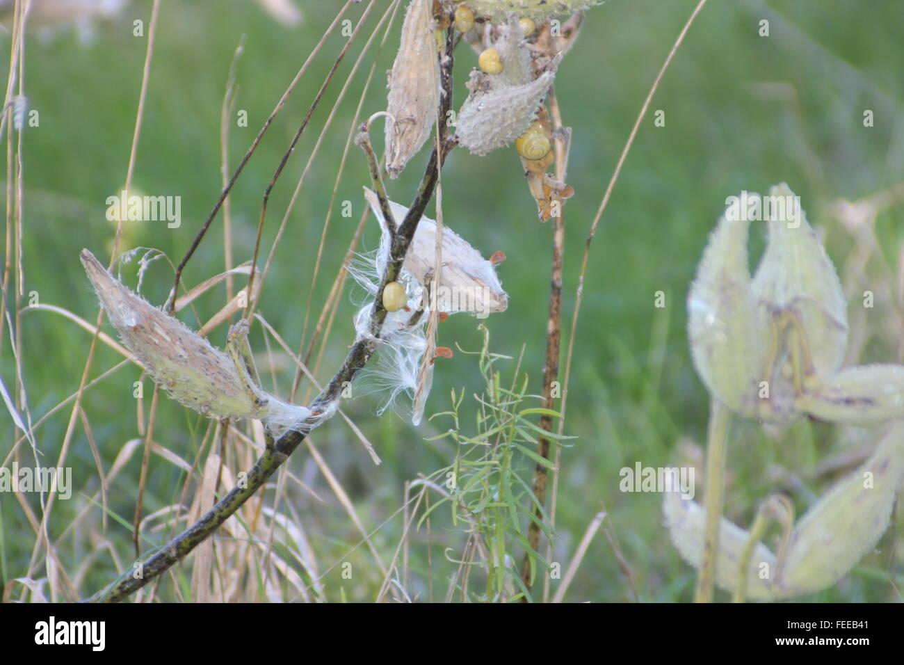 La levetta essiccato e capsule di seme di una pianta milkweed