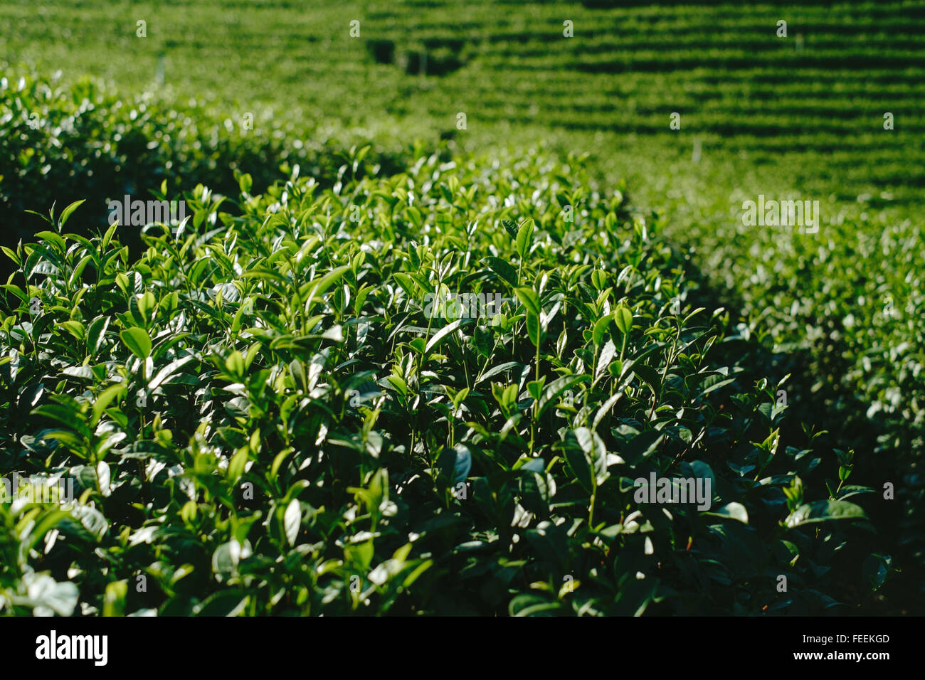 Vista ravvicinata al tè plantaion Immagini Stock
