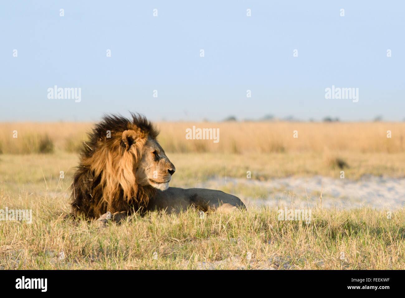 Maschio di leone africano Immagini Stock