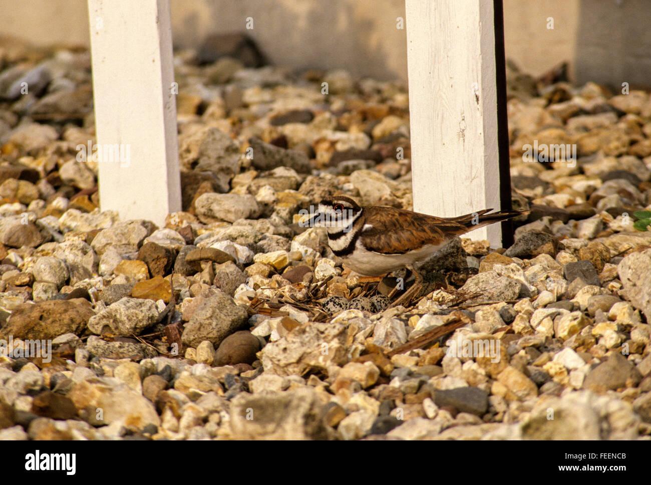 Natura di camuffamento. Un Kildeer (charadrius vociferus) si siede sul suo uova in un nido circondato da ghiaia Immagini Stock
