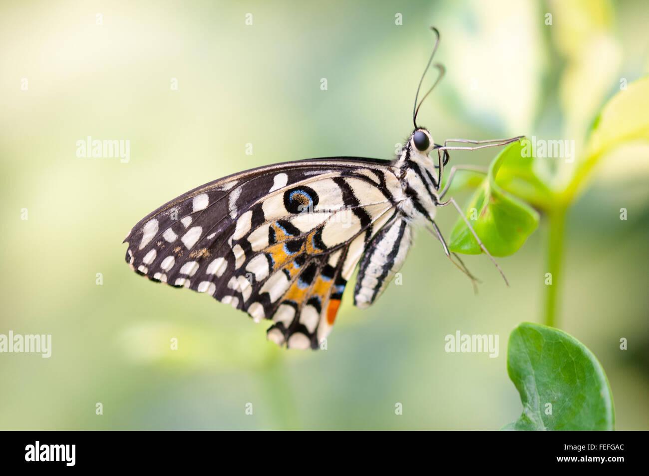Papilio demoleus a coda di rondine di limone lime butterfly al Museo di Storia Naturale tenda a Londra, Inghilterra. Immagini Stock