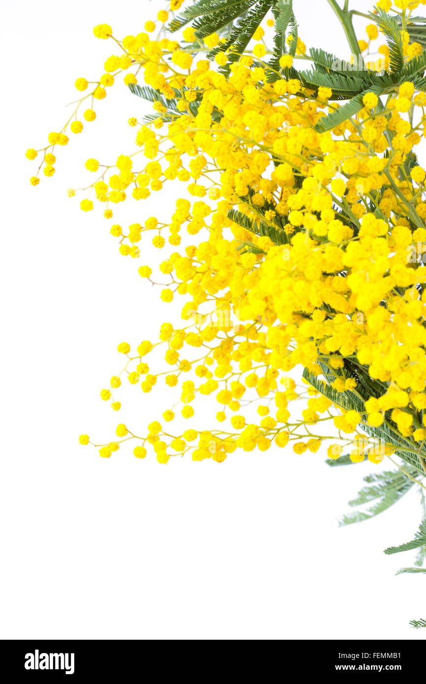 Mimosa Tree Yellow Immagini   Mimosa Tree Yellow Fotos Stock - Alamy 9ff3ea95afed