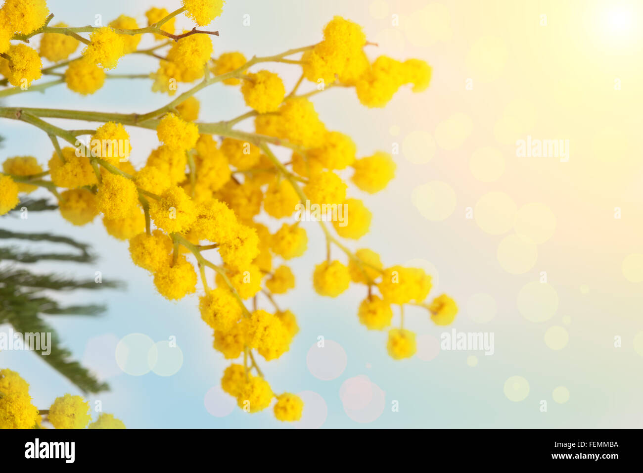 Yellow Mimosa Flower Immagini   Yellow Mimosa Flower Fotos Stock - Alamy a4a03c2ec17f
