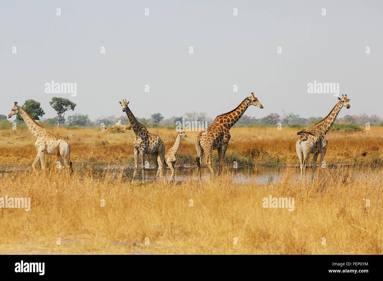 Torre di giraffe in piedi in acqua pan, Botswana Immagini Stock