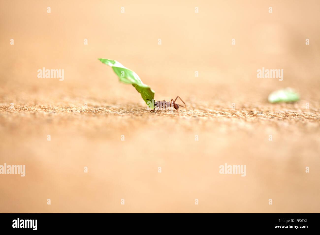 Un close-up di un singolo coltello in foglia ant portando un pezzo di foglia verde attraverso una superficie testurizzata. Immagini Stock
