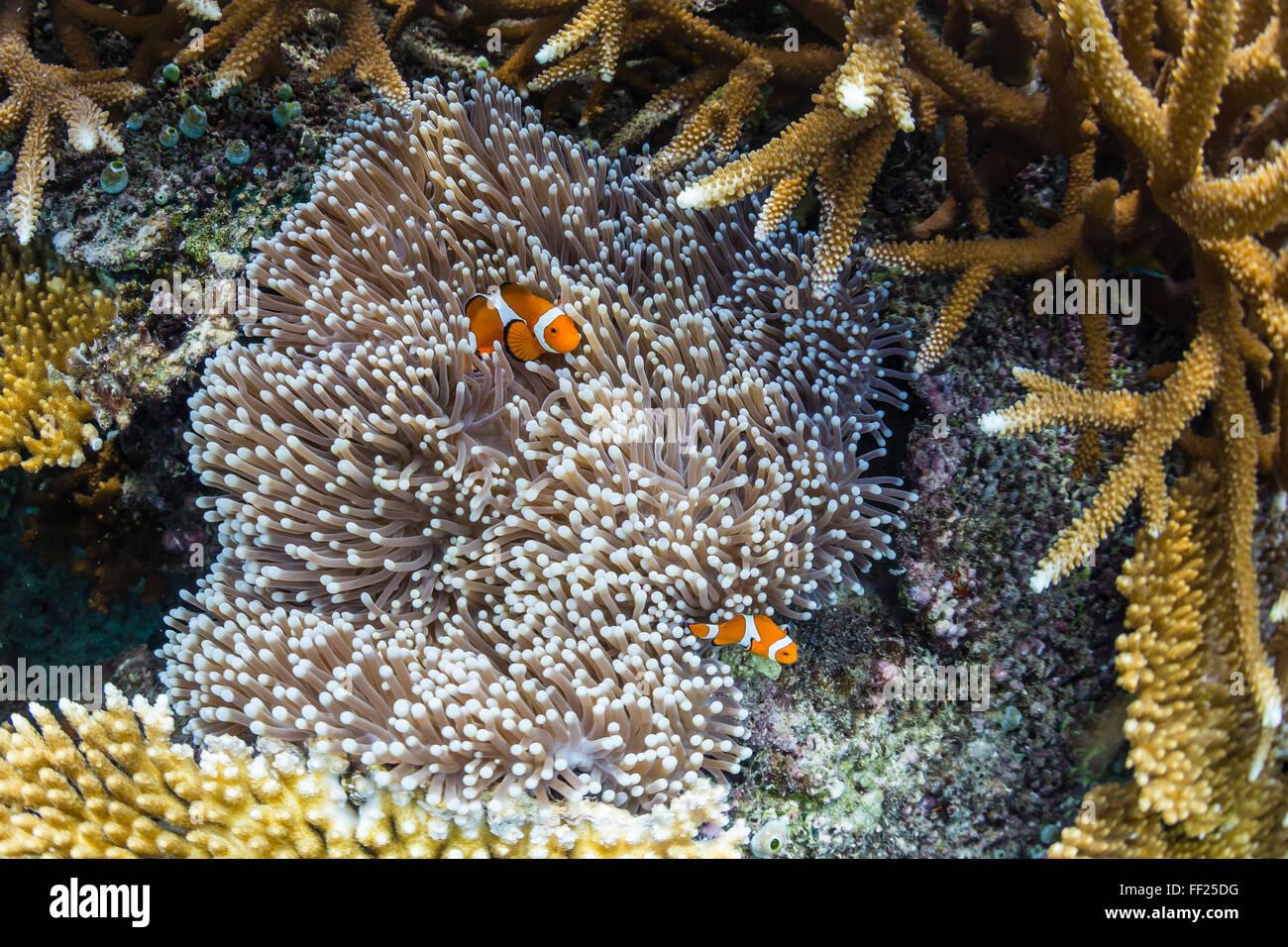 Clownfish subacquea in anemone a Pulau Setaih Isola Arcipelago Natuna, Indonesia, Asia sud-orientale, Asia Immagini Stock